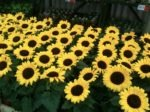 Small Sunflowers